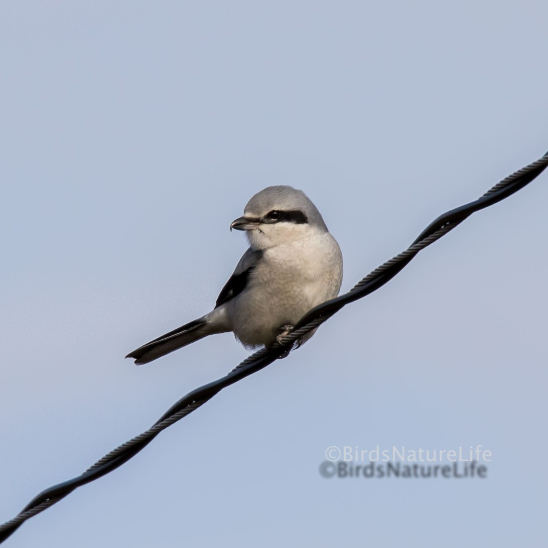 Image Credit: Animal Perspectives. Northern Shrike.